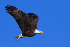 Bald Eagle in Flight With a Fish Royalty Free Stock Photos