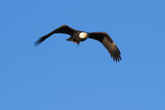 Bald Eagle in Flight With a Fish Royalty Free Stock Images