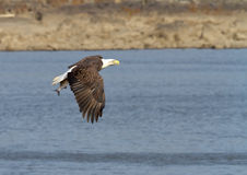 Bald Eagle in flight with a fish Stock Photo