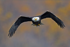 Bald Eagle in Flight with Fish. Bald Eagle in flight head on with Large fish in talons royalty free stock photos