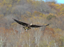 Bald Eagle in flight with a fish Royalty Free Stock Photography