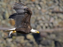 Bald Eagle in Flight with Fish Royalty Free Stock Photos