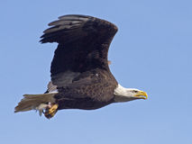 Bald Eagle in Flight with Fish Stock Images