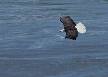 Bald Eagle in flight fishing a river Royalty Free Stock Photos