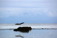 Bald eagle in flight. Bald eagle flies above the sea and comes in to land on a rock in the Comox Valley, Vancouver Island, BC, Canada Royalty Free Stock Images
