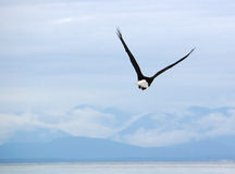Bald eagle in flight. Bald eagle flies above the sea in the Comox Valley, Vancouver Island, BC, Canada Stock Photo