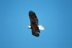 A bald eagle in flight. A Bald Eagle flying with a blue sky background Stock Images