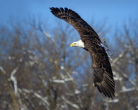 Bald Eagle in Flight. A flying bald eagle in the winter Stock Photography