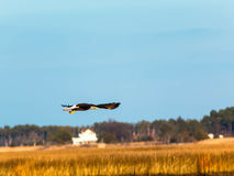 Bald eagle in flight full spread Royalty Free Stock Image