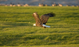 Bald Eagle in flight Hecla Island Manitoba. Bird flying Royalty Free Stock Photography