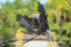 Bald Eagle in flight. Stock Photos