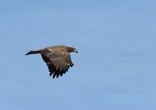 Bald Eagle in flight Stock Image