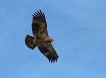 Bald Eagle in flight Stock Photos