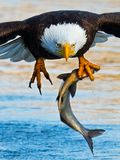Bald Eagle with Fish. Bald Eagle in flight with Large fish in talons Stock Photos