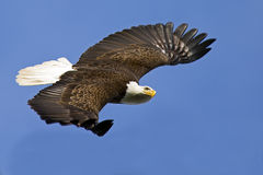 Bald Eagle in Flight Royalty Free Stock Images