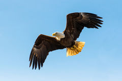 Bald Eagle in flight. North American Bald Eagle in mid flight, hunting along river wat Royalty Free Stock Photography