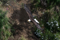 Bald eagle in flight Royalty Free Stock Photos
