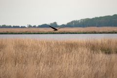A Bald Eagle in flight over marsh grass with the bay in the background stock photo