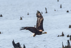 Bald eagle in flight, swooping over water. Bald Eagle in flight over water at Blackwater Nature Preserve, Maryland Royalty Free Stock Image