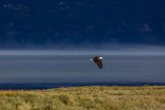Bald eagle in flight over water and meadow Stock Images