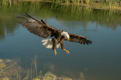 Bald Eagle in Flight. Profile image of a bald eagle flying low over a marshy pond with wings out-stretched and talons showing in front Royalty Free Stock Images
