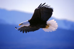 Bald Eagle Flight. Bald Eagle in flight soaring in mid-air royalty free stock image