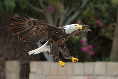 Bald Eagle in flight. Royalty Free Stock Image