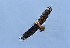 Bald Eagle in flight Stock Images