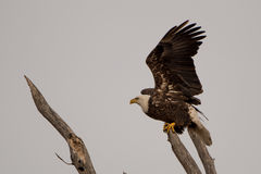 Bald Eagle Flight Royalty Free Stock Photo