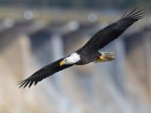 Bald Eagle in Flight Wings Spread.  royalty free stock photo
