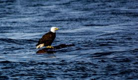 Bald eagle on floating log Stock Image