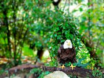 Bald eagle, Florida Stock Photo