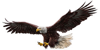 Bald eagle fly color vector.