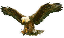 Bald eagle fly landing vector. vector illustration