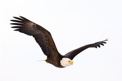 Bald Eagle flying royalty free stock photography