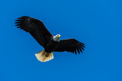 Bald Eagle. Flying above looking for prey Royalty Free Stock Image