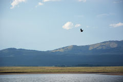 Bald eagle flying above the Snake river Stock Photos
