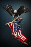 Bald Eagle flying with American flag. North American Bald Eagle flying with American flag. Patriotic concept Royalty Free Stock Images