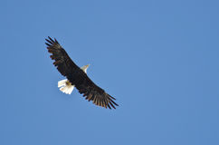 Bald Eagle Flying in a Blue Sky Stock Photo