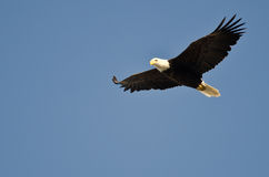Bald Eagle Flying in a Blue Sky Royalty Free Stock Photography