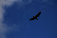 A bald eagle flying in the blue sky. A bald eagle flew by me when I was travelling in Valdez, Alaska. The lense on my camera at that moment was 16-85. But he was Stock Image