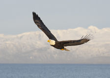 Bald eagle flying with blue sky over the bay at Homer Alaska Stock Images
