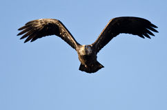 Bald Eagle Flying Directly At You Stock Images