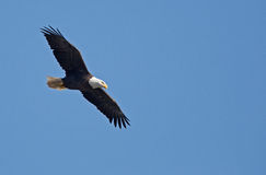 Bald eagle flying with fish. Royalty Free Stock Photo