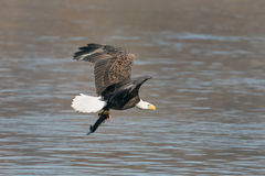 Bald eagle flying with fish. Stock Photo