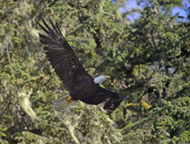 Bald eagle flying in forest Stock Image
