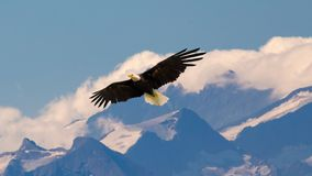 Bald eagle flying and gliding slowly and majestic