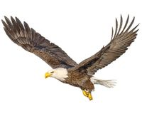 Bald eagle flying hand draw and paint color on white background. Illustration royalty free illustration