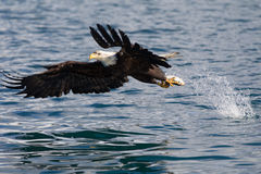 Bald Eagle flying, Homer Alaska Stock Photography
