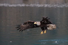 Bald Eagle flying, Homer Alaska Stock Image